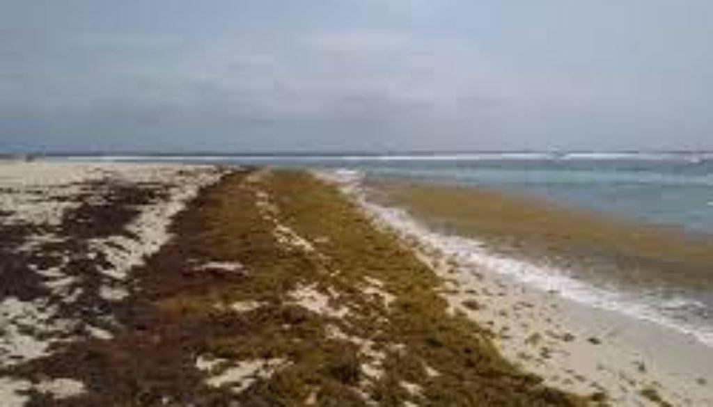 Region agrees to establish action plan to tackle sargassum seaweed