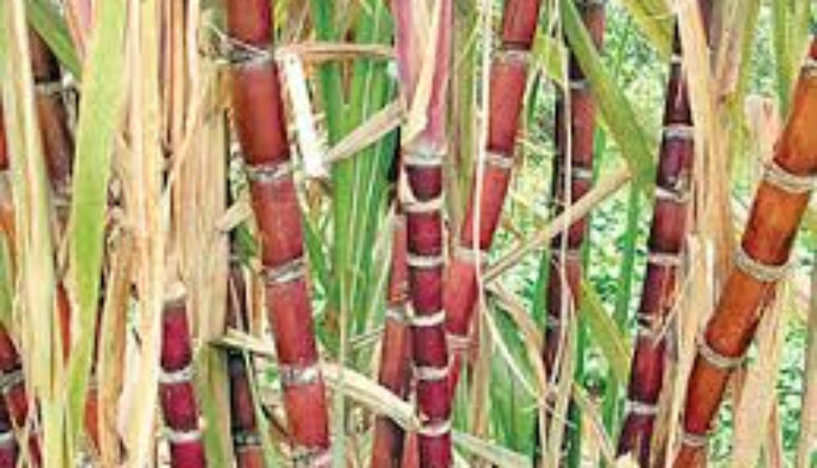 Caribbean sugar industry faces binary choice says SAC